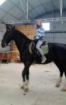 Caballo malboro - Oldenbourg Macho (10 años)