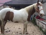 championhorse12 - Pinto (11 años)
