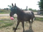 Old ponyy - Appaloosa (4 años)