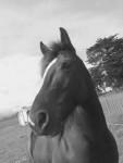 tuhoe - Irish cob (10 años)
