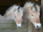 Falina & Gus - Caballo de Noruega