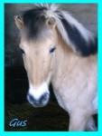 Gus - Caballo de Noruega Macho (8 años)