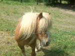 Poly - Shetland Macho (10 años)