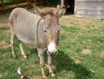 Grisette - Burro gris (15 años)