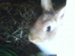 Conejo Camile - Hembra (7 meses)