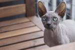 Gato Sphynx -  (Acaba de nacer)