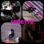 Gato Minette - Hembra (1 año)