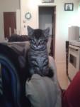 Gato Tetounne - Hembra (3 meses)