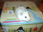 Hamster - Macho (3 años)