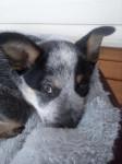 Perro Blue - Macho (Acaba de nacer)