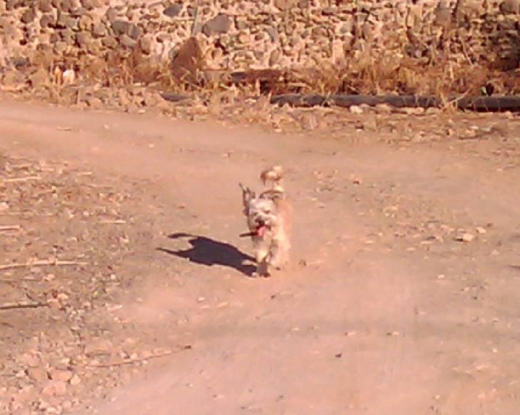 Perro Rabito - Macho (8 años)
