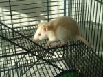 Rata Ginnie - Hembra (1 año)