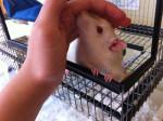 Rata Cloudy - Macho (5 meses)