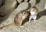 Ratón de campo preciosos -  (Acaba de nacer)