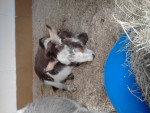 mini donkey - (3 años)