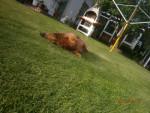 Perro Wastl -  Macho (11 años)