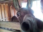 Bo Donkey - Macho (13 años)