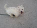 Perro westie; Cracky -   (Acaba de nacer)