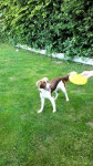 Perro Malou et son Frisbee -  Hembra (1 año)