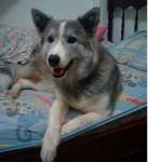 Perro lley -  Hembra (7 meses)