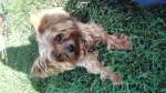Perro eclipse -  Macho (8 años)