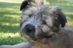 Perro Mortimer -  Macho (2 meses)