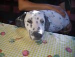 Perro Dolie -  Hembra (3 años)