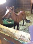 Poney Katie -  Hembra (8 meses)