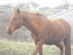 Caballo caline -  Hembra (23 años)